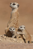 Suricate mother with pups. Distribution focussed in low-rainfal areas of South Africa and Namibia; pale body color with several irregular transverse bands on the Stock Photography