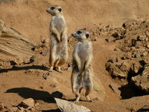 Suricate. Nice animals in free nature Royalty Free Stock Images