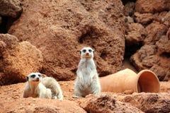Suricate o famiglia del meerkat. Fotografie Stock Libere da Diritti