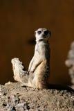 Suricate o Meerkat Fotografia Stock