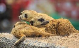 Suricate o meerkat Imagen de archivo