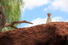 Suricate o meerkat. Fotografie Stock