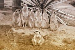 Suricate o suricatta del Suricata del meerkat che sta in guardia Immagine Stock Libera da Diritti