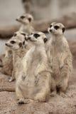Suricate o suricatta del Suricata del meerkat che sta in guardia Immagini Stock