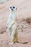 Suricate oder meerkat Lizenzfreies Stockfoto