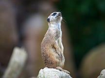 Suricate oder meerkat, ist ein kleines carnivoran, das der Mungofamilie gehört Stockfoto