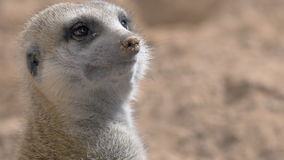 Suricate is op zijn wacht stock footage