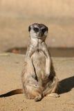 Suricate ou Meerkat images libres de droits