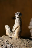 Suricate ou Meerkat Photo stock