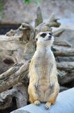 Suricate ou meerkat Foto de Stock