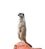 Suricate ou meerkat alerte Images libres de droits