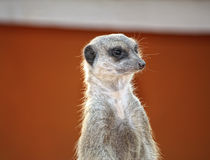 Suricate ou meerkat dans le désert de Sahara Photos stock