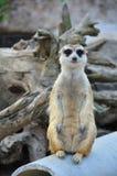 Suricate ou posição do meerkat Imagens de Stock