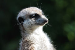 Suricate portrait Stock Images