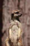 Suricate portrait Royalty Free Stock Photos