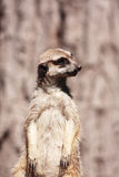 Suricate portrait Stock Photo