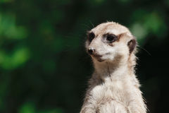 Suricate portrait Royalty Free Stock Image