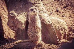 Suricate portrait standing on barren land near dry tree trunk lo Royalty Free Stock Photography