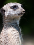 Suricate portrait Stock Photos