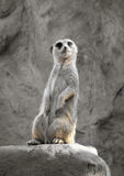 Suricate on a rock Stock Images