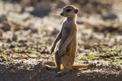Suricate sentry standing in the early morning sun Stock Photos