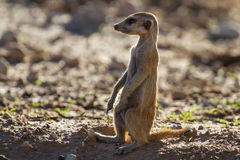 Suricate sentry standing in the early morning sun Stock Images