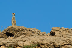 Suricate sentry standing in the early morning Stock Image