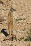 Suricate sentry standing in the early morning sun looking for po Stock Photo