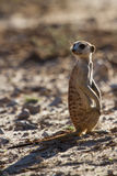 Suricate sentry standing in the early sun Stock Photo