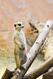 Suricate standing on guard Royalty Free Stock Photos