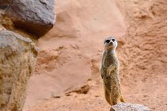 Suricate standing on rock Royalty Free Stock Photo