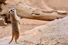 Suricate standing on rock Stock Photos