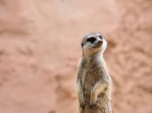 Suricate standing on rock Royalty Free Stock Image