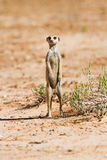 Suricate standing on sand Royalty Free Stock Photography