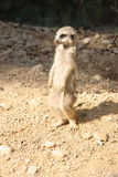 Suricate standing on the sand Stock Image