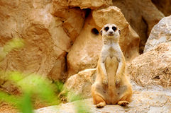 Suricate standing up Stock Photography