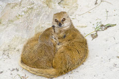 Suricate suricata family. Two suricates sleeping and looking and watchful outside Royalty Free Stock Photo