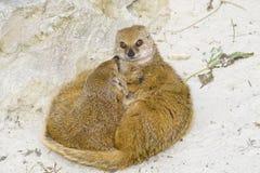 Suricate suricata family Royalty Free Stock Photo