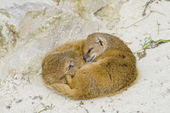 Suricate suricata family. Two suricates sleeping outside on sand Royalty Free Stock Photos