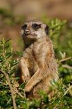 Suricate (Suricata suricatta) Stock Image