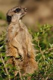 Suricate (Suricata suricatta) Royalty Free Stock Photos
