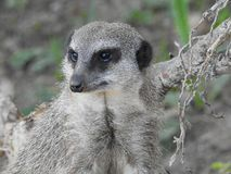 Suricate Suricata suricatta that keeps a watchful eye. Royalty Free Stock Photo