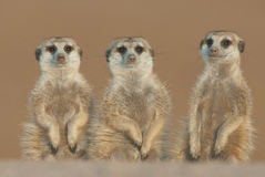 Suricate threesome. Distribution focussed in low-rainfal areas of SOuth Africa and Namibia; pale body color with several irregular transverse bands on the back Royalty Free Stock Photos