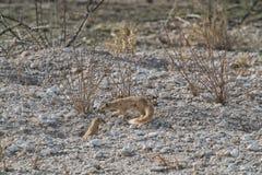Suricate to feed her baby. Etosha Namibia. stock images