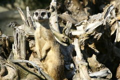 Suricate. In the Warsaw zoo Royalty Free Stock Image
