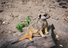Suricate on the watch royalty free stock images