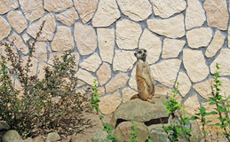 Suricate in a Zoo Stock Image