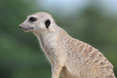 Suricate Royalty Free Stock Photography