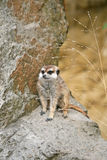 Suricate in a Zoo. Suricate or Meerkat (Suricata suricatta), sitting on a stone in a Zoo Royalty Free Stock Photos