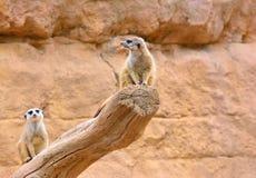 2 suricates на сухом дереве Стоковые Изображения